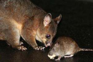 巨鼠入侵墨尔本 最大的超过30厘米!