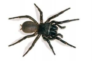 澳大利亚毒蜘蛛